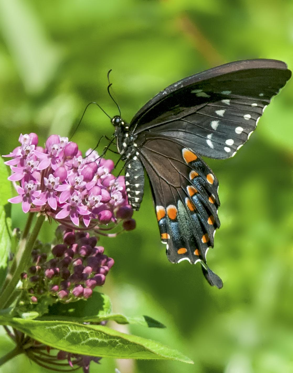 Black Swallowtail and Swamp Milkweed