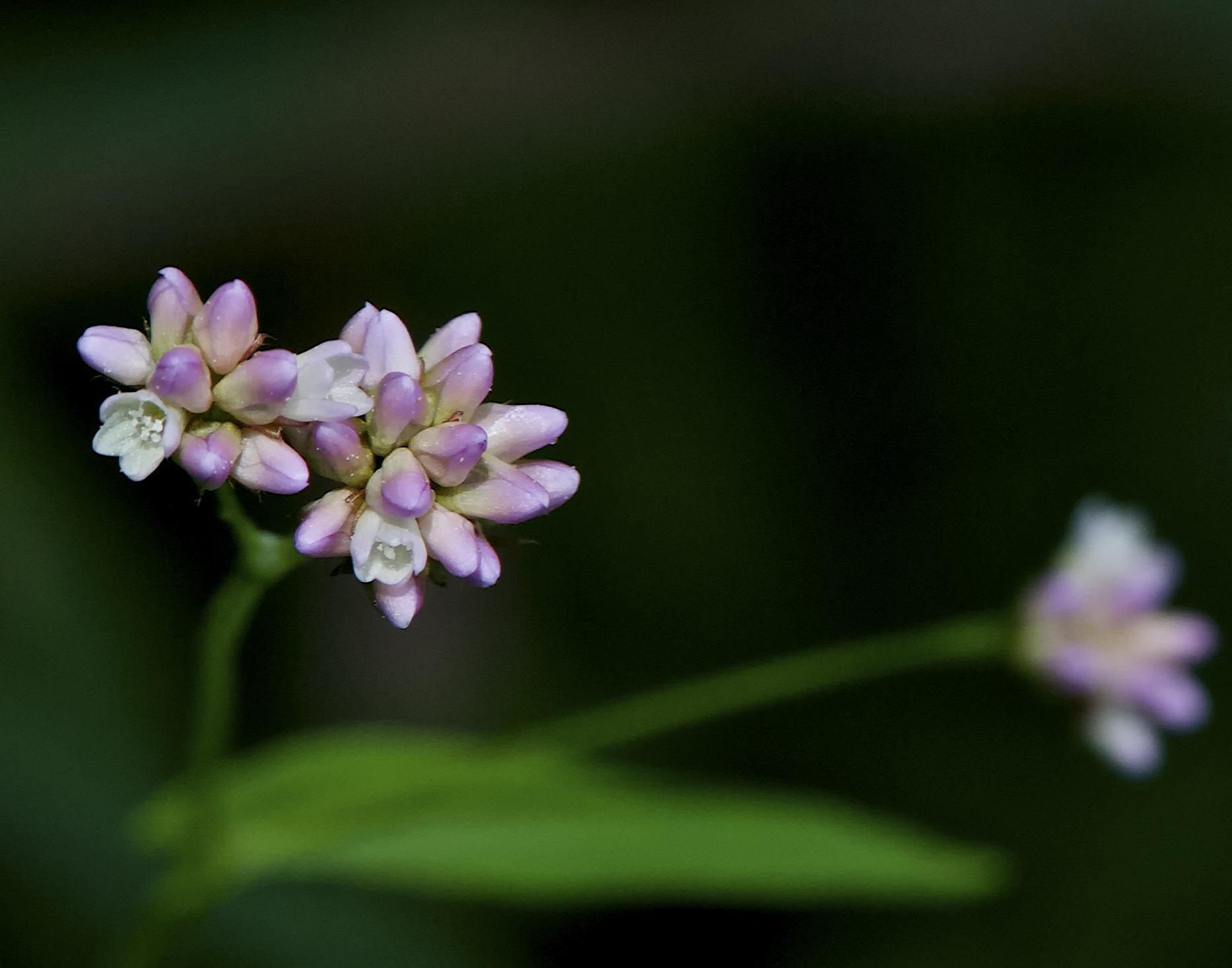 Arrow-leaf tearthumb