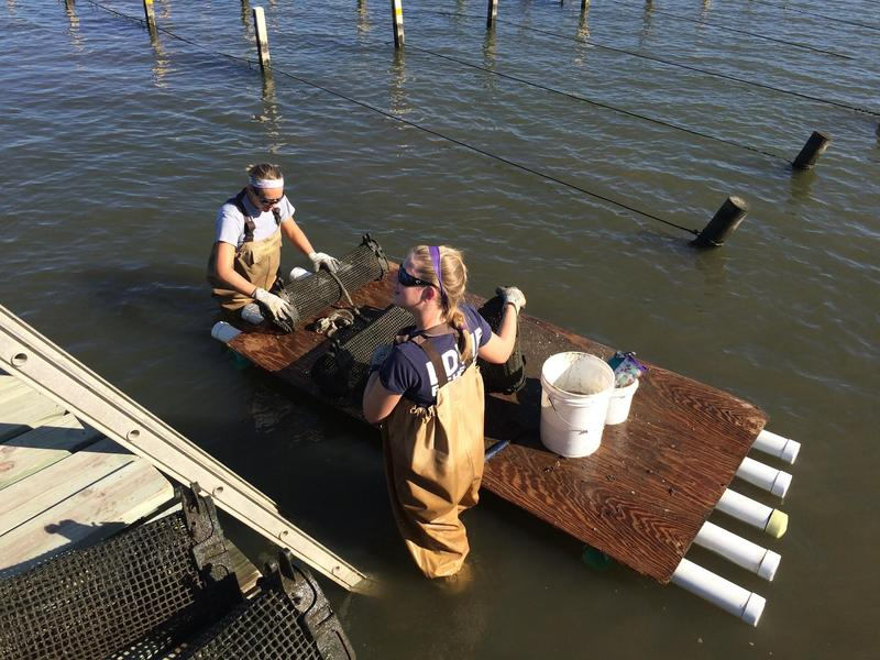 Two marine biologists working triangular cages used in raising the baby oysters, known as spat.    POPPY TOOKER