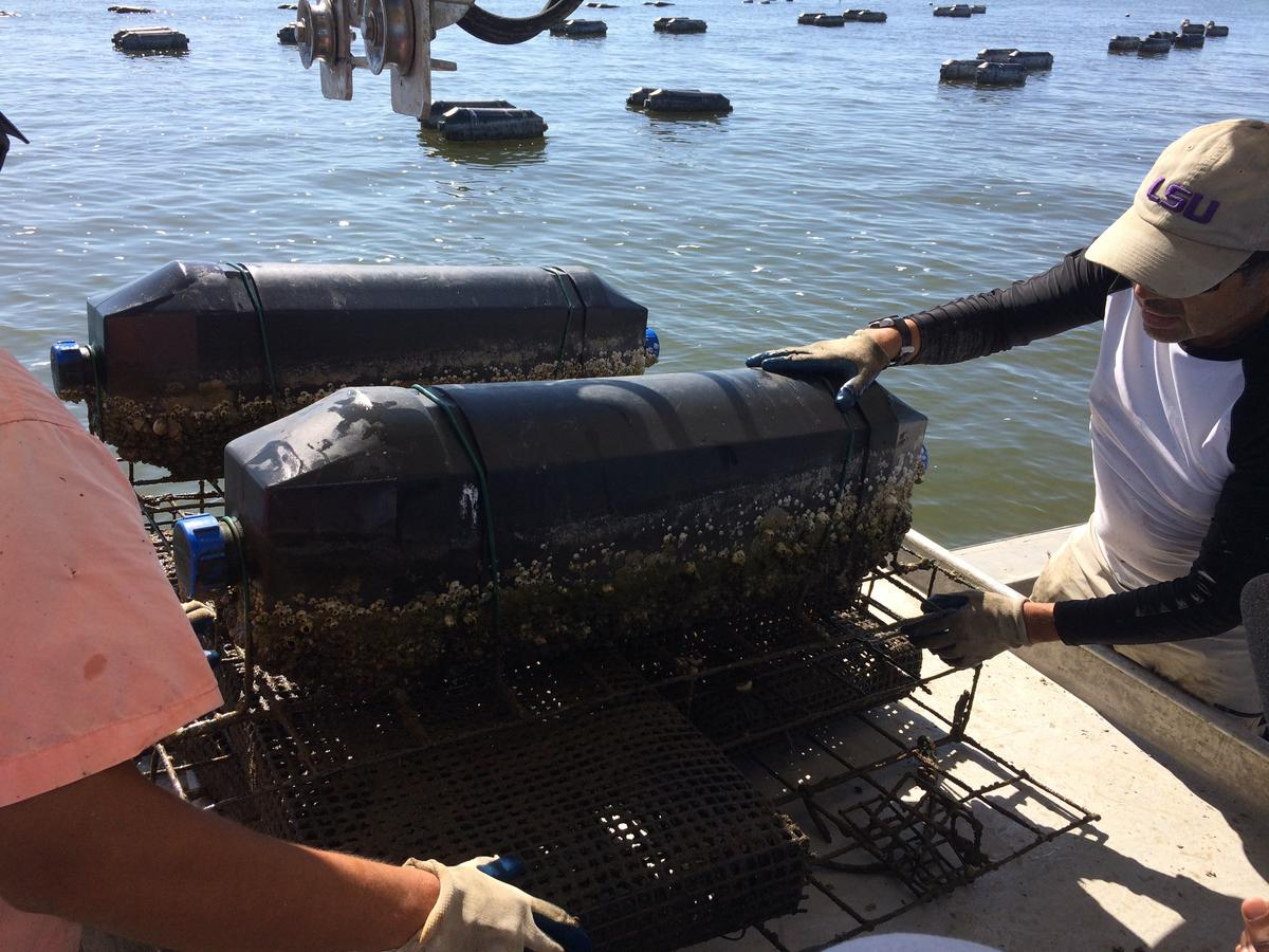 Marcos and Boris Guerrero pulling a heavy wire cage onto their boat, packed with growing baby oysters.   CREDIT POPPY TOOKER