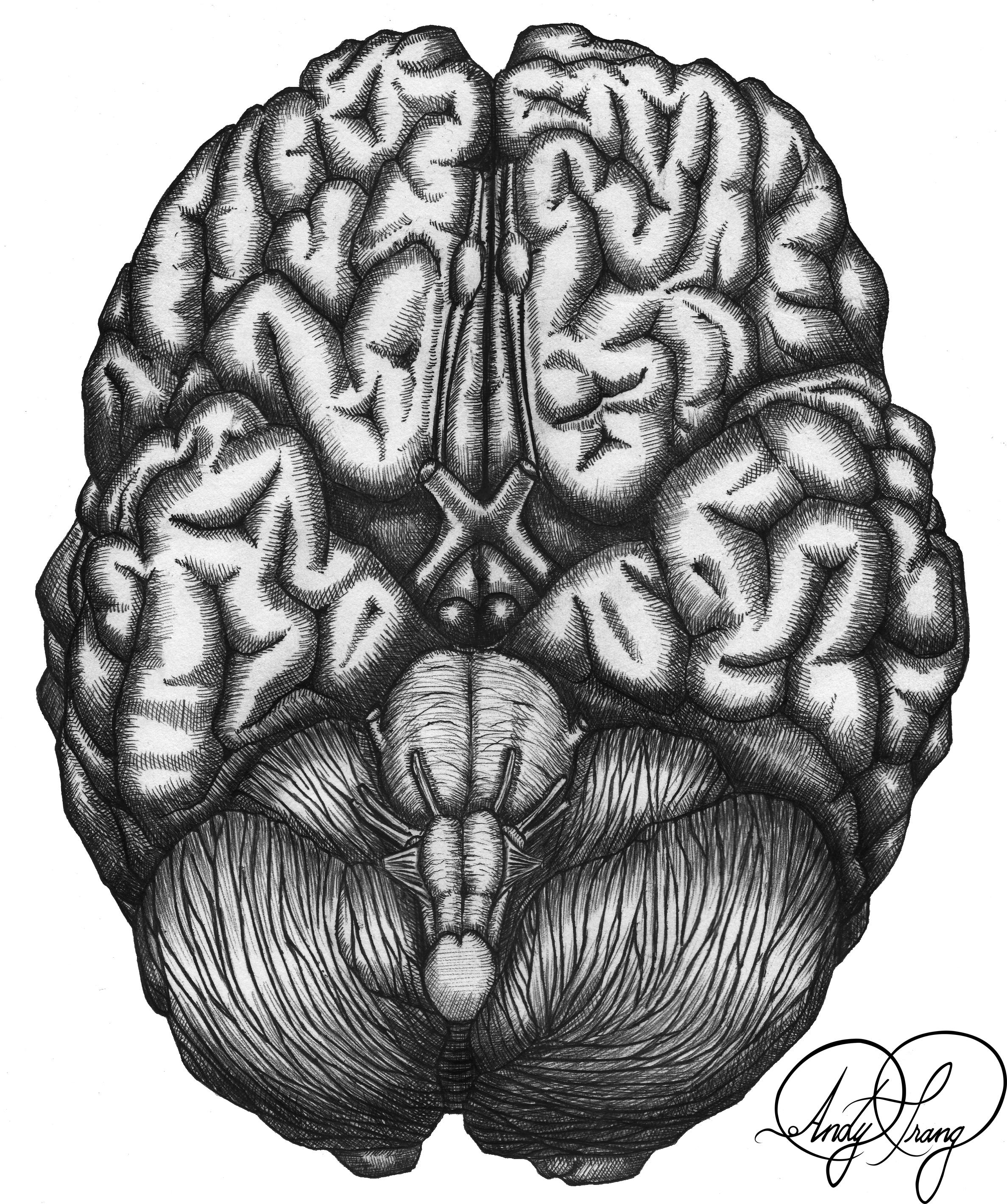 Andy_Trang-Brain_inferior.png