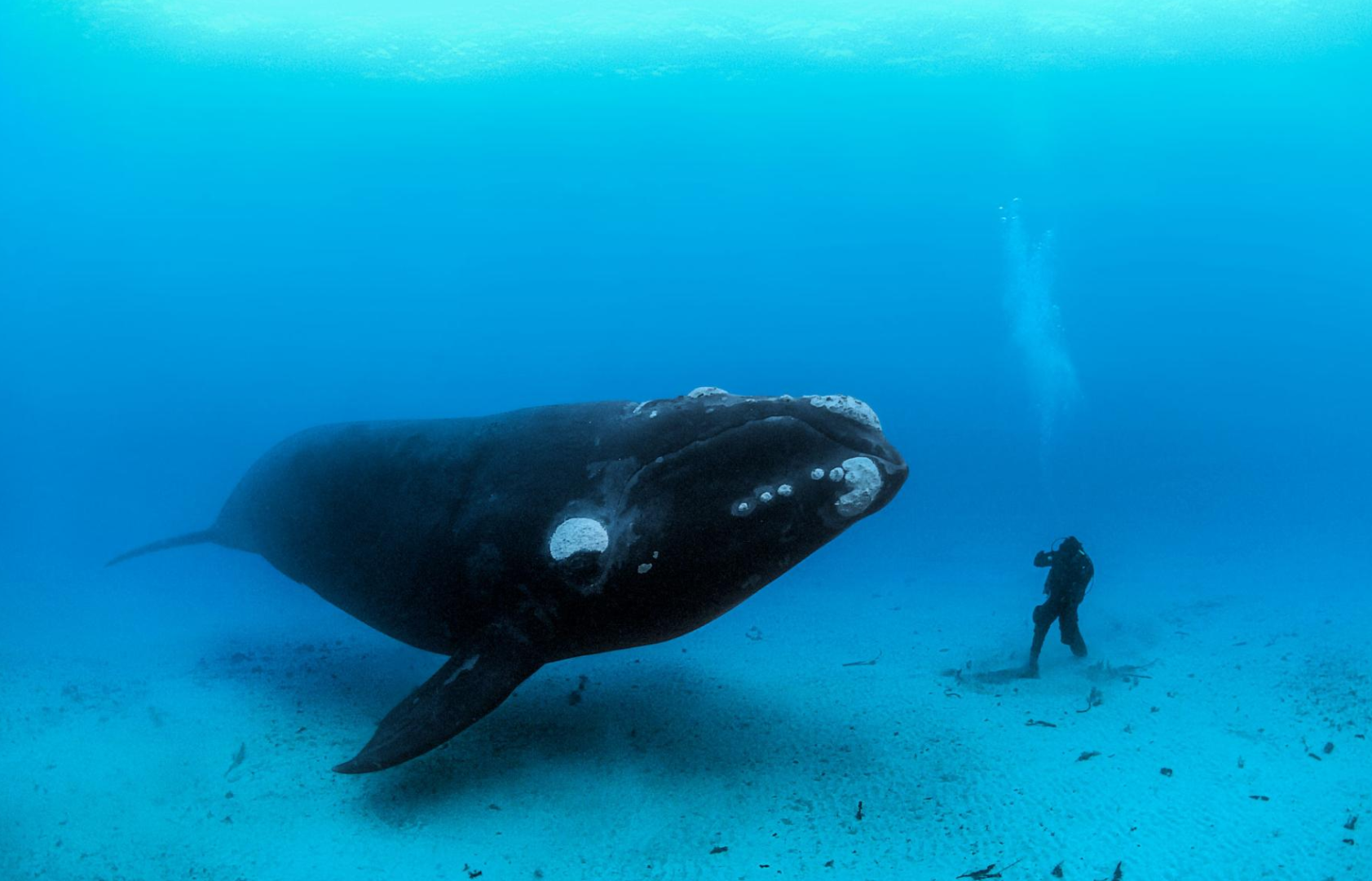 A southern right whale encounters a diver on the sandy sea bottom off the Auckland Islands, New Zealand. Adults can reach lengths of 55 feet and weigh up to 60 tons.