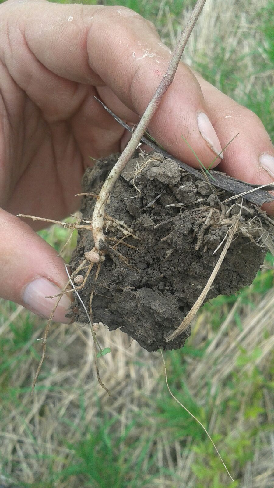 Mung Bean nodules from wheat straw cover