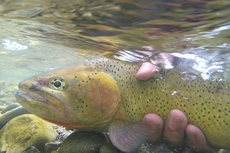 Trout caught by fisherman - Jackson Hole Fly Fishing - Wyoming Guide Co