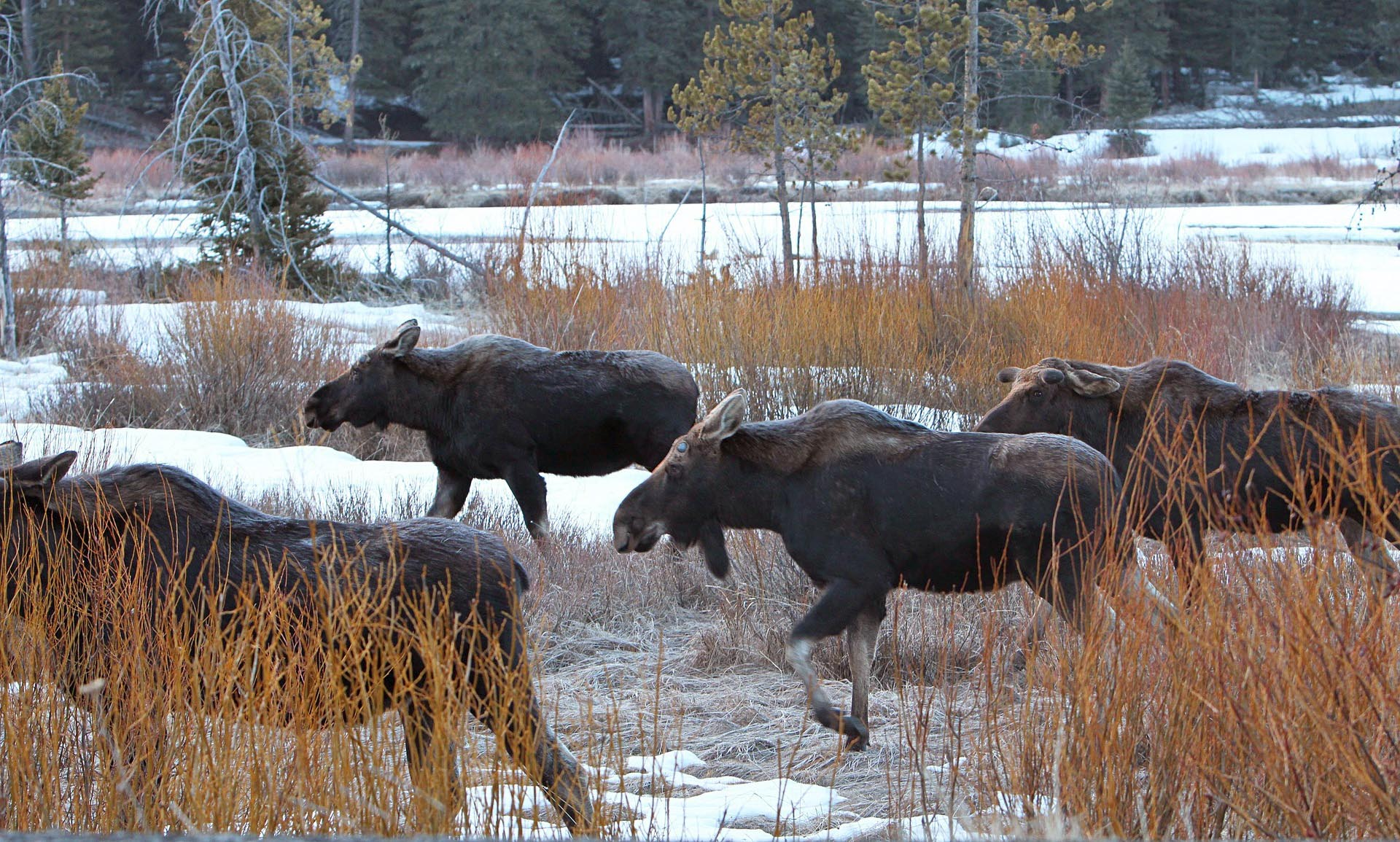 Bull and cow moose by the snake river.jpg