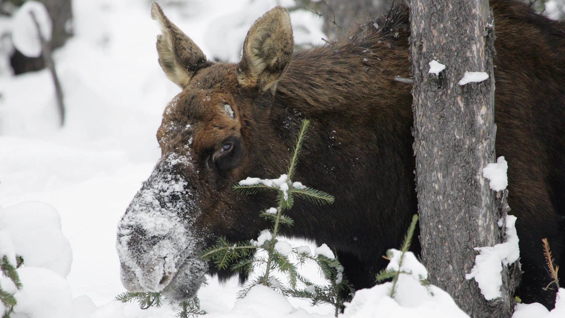 moose-1106386_1920.jpg