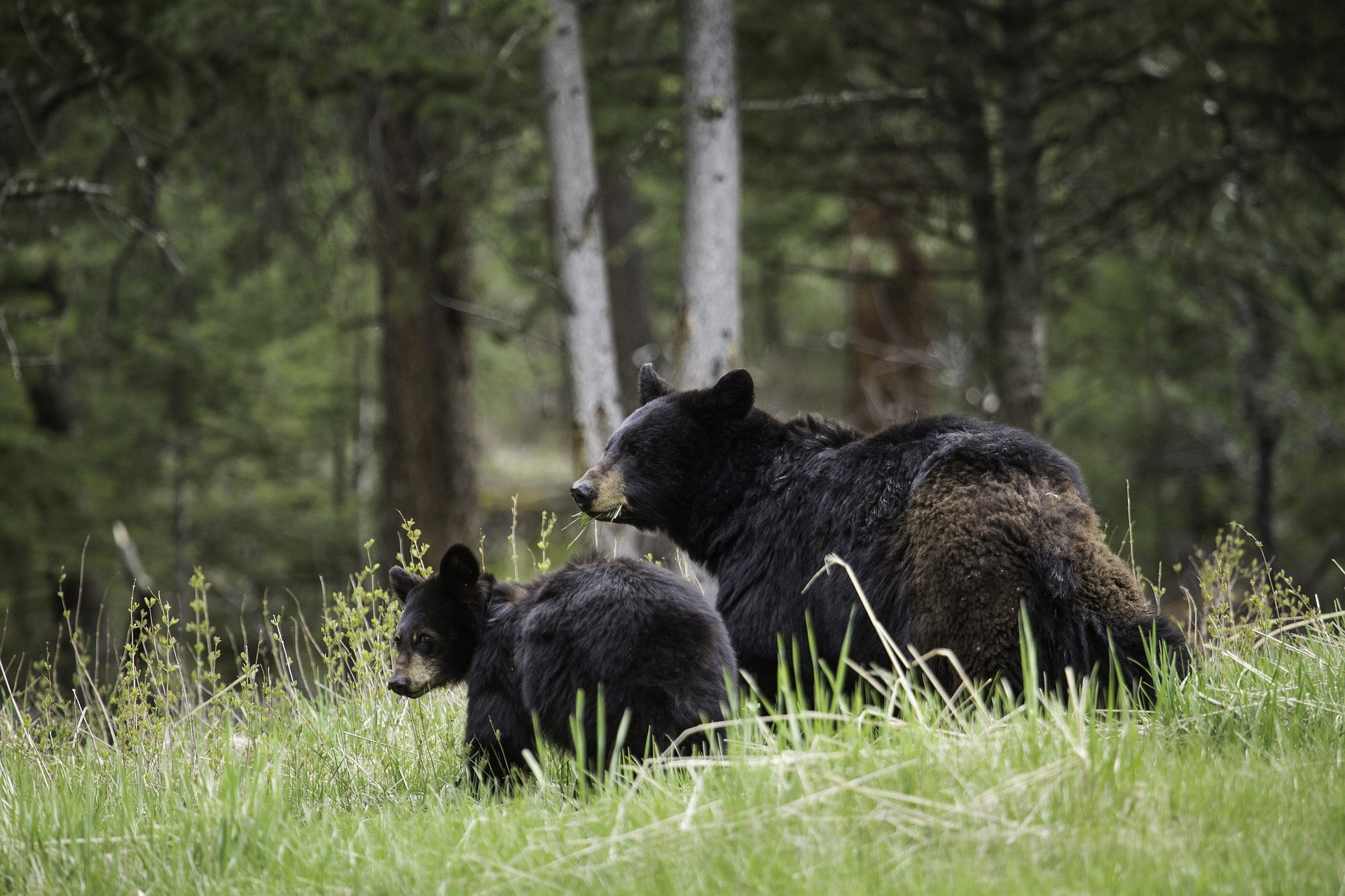 Black Bear Mama and Cub in field - Private Sunrise or sunset wildlife tours in Grand Teton National Park - Wyoming Guide Co