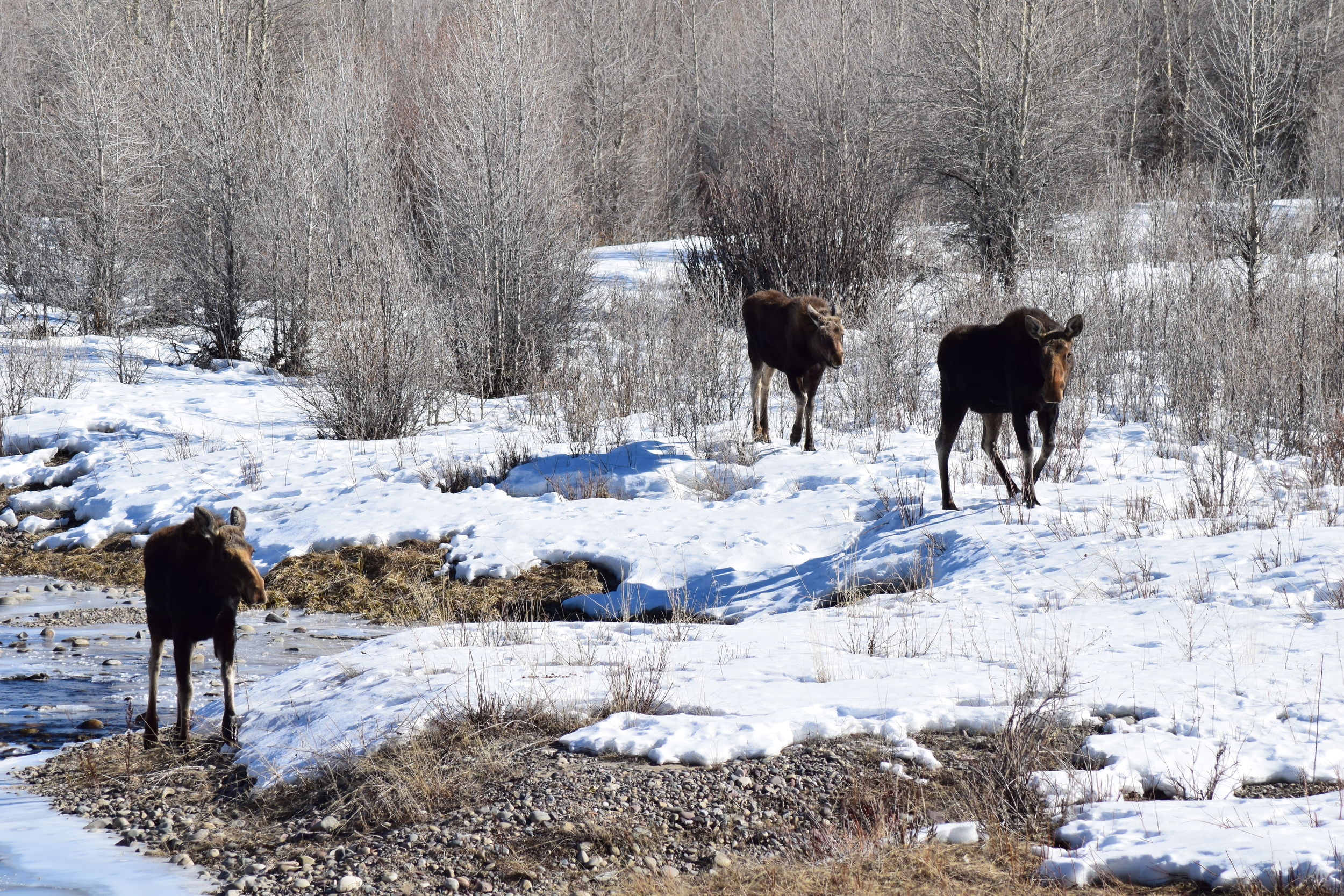 Moose on the Gros Ventre River.jpg