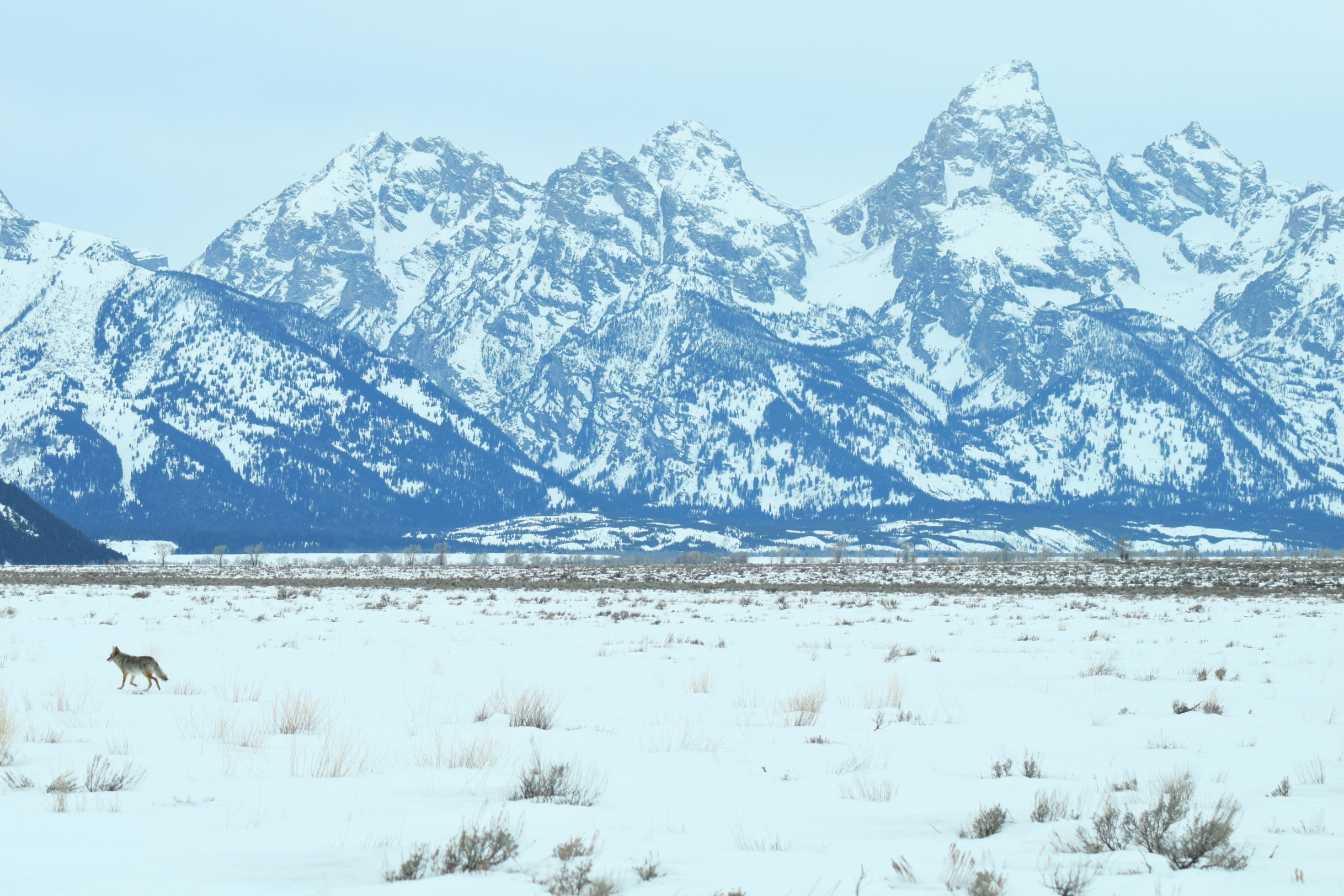 Coyote+in+front+of+the+Tetons+Wyoming+Guide+company.jpg