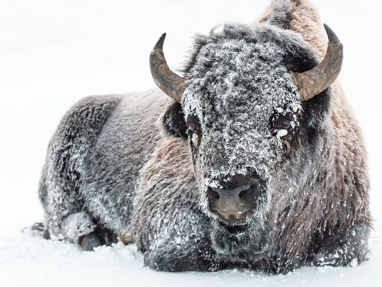 bison-3848286_1920.jpg