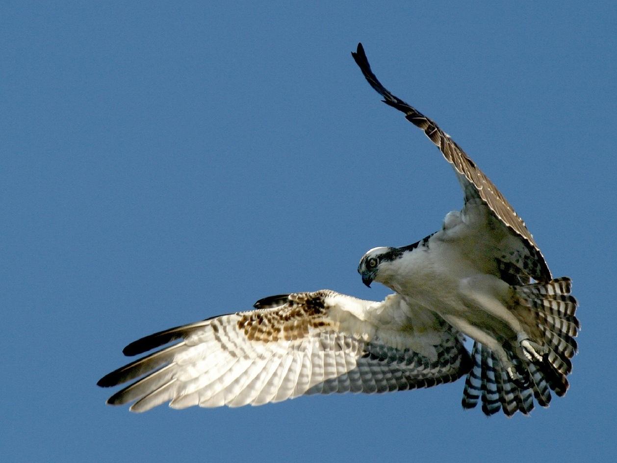 osprey-948832_1280.jpg