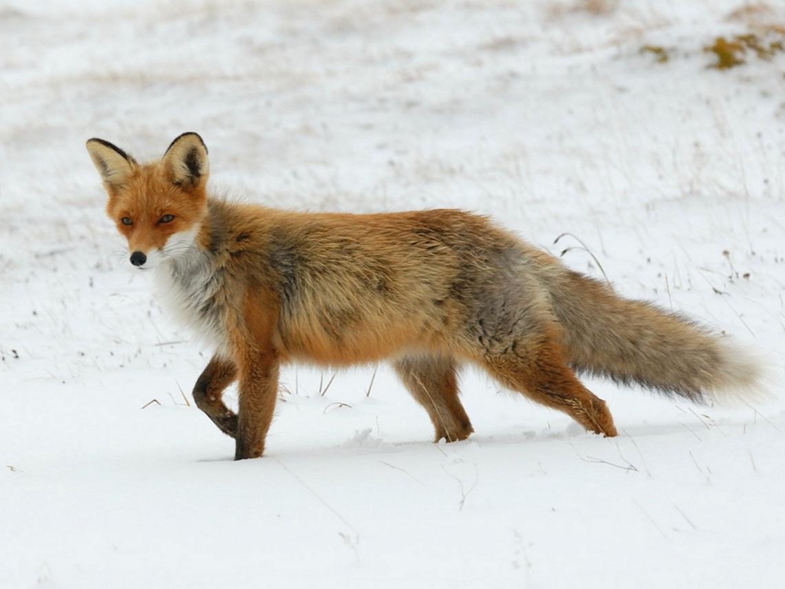 fox-71826_1280.jpg