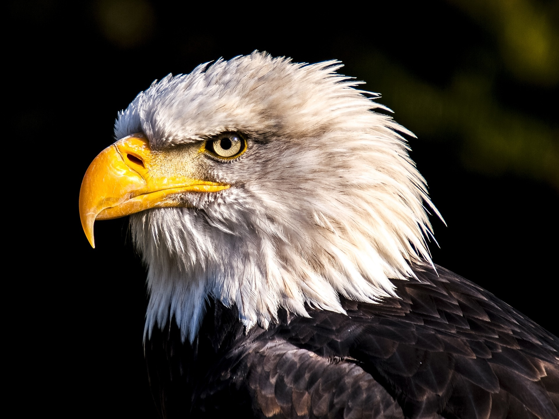 Bald Eagle - Private Sunrise or sunset wildlife tours in Grand Teton National Park - Wyoming Guide Co