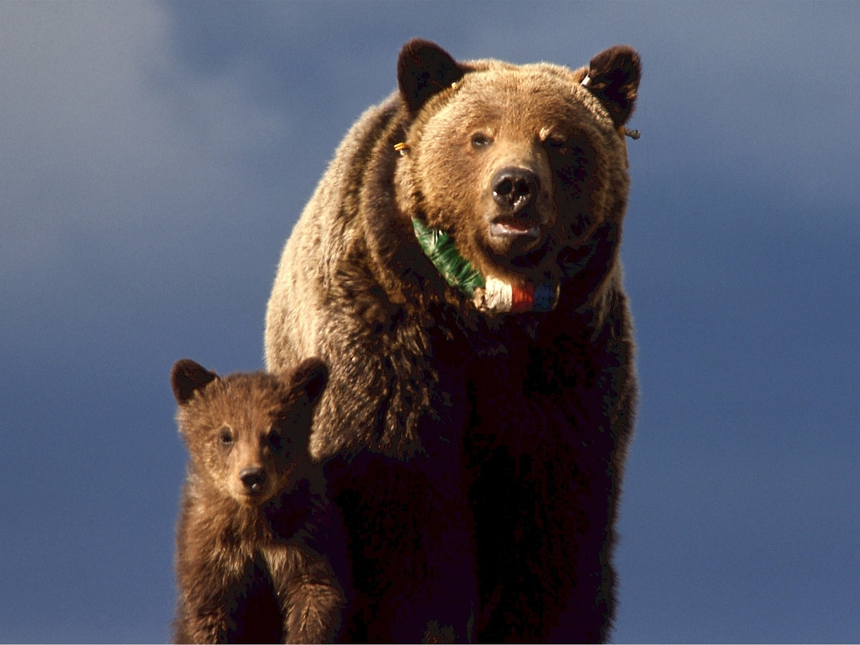 Grizzly Mama Bear and Cub - Private Sunrise or sunset wildlife tours in Grand Teton National Park - Wyoming Guide Co