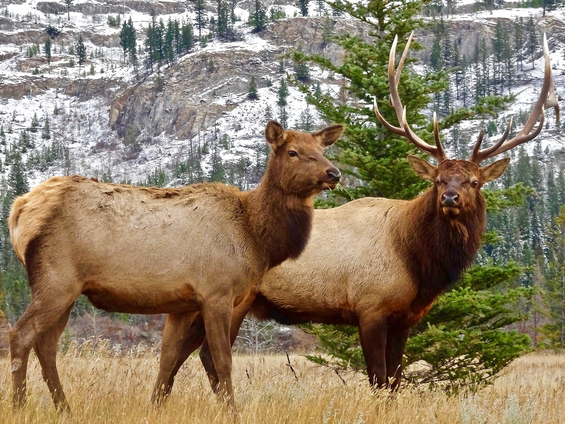 Male and Female Elk in Grass - Private Sunrise or sunset wildlife tours in Grand Teton National Park - Wyoming Guide Co