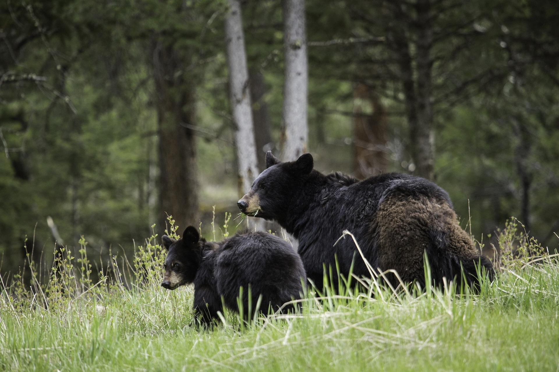 black-bears-1972307_1920.jpg