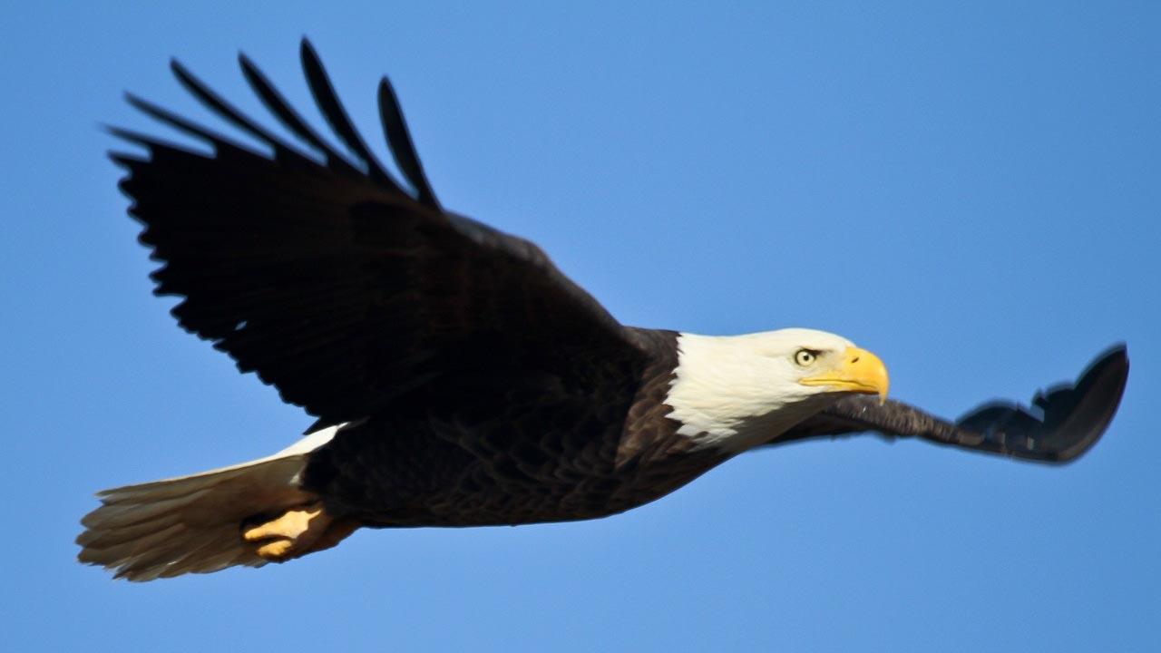 bald-eagle-1259676_1280.jpg