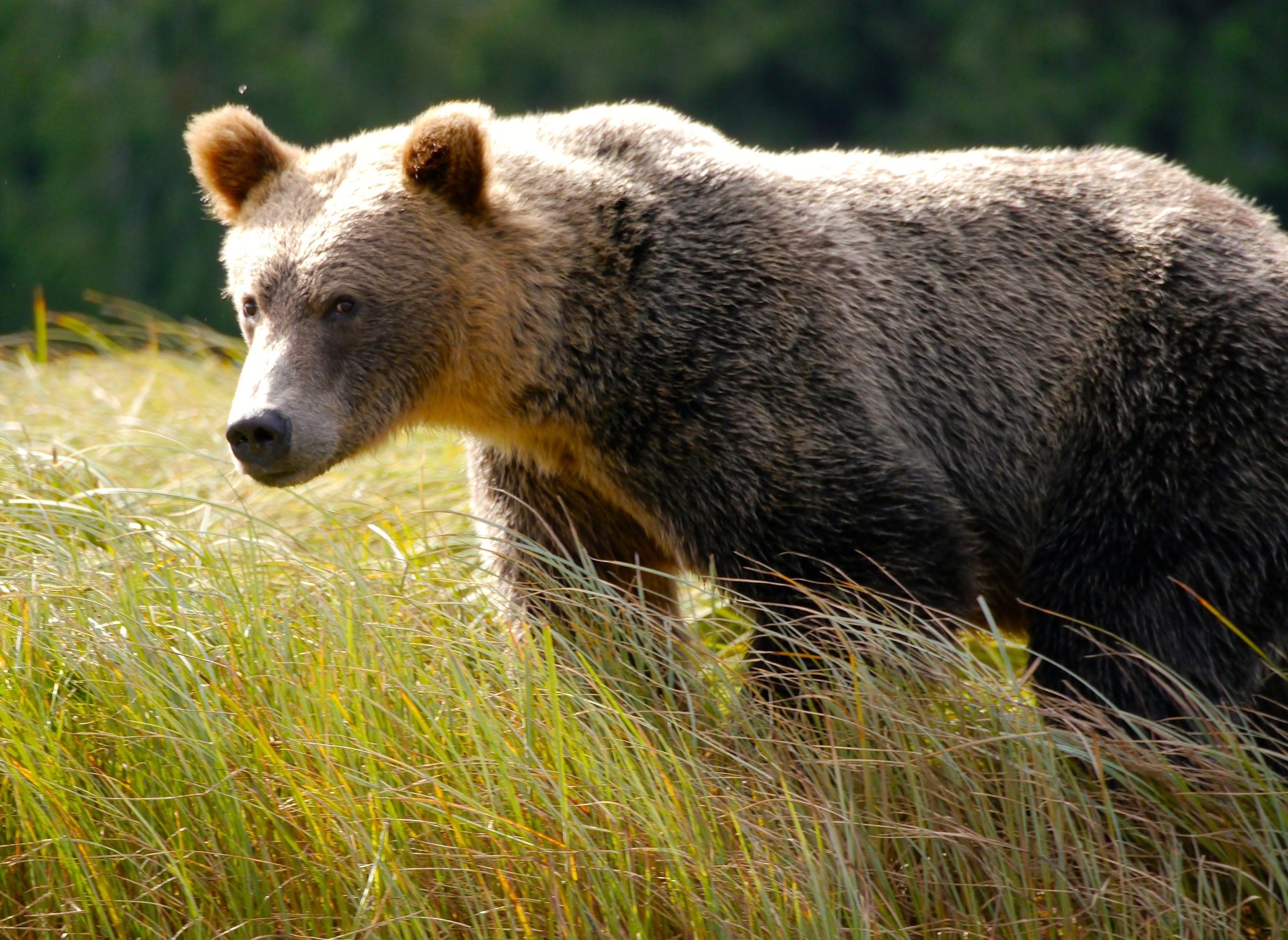 Grizzly bear in field - Yellowstone Guided Tours - Wyoming Guide Co