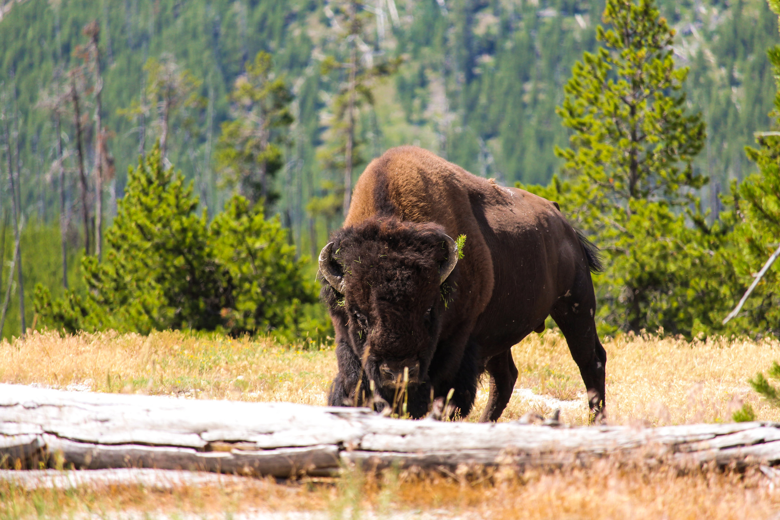 Bison in field - Yellowstone Day Tours - Wyoming Guide Co