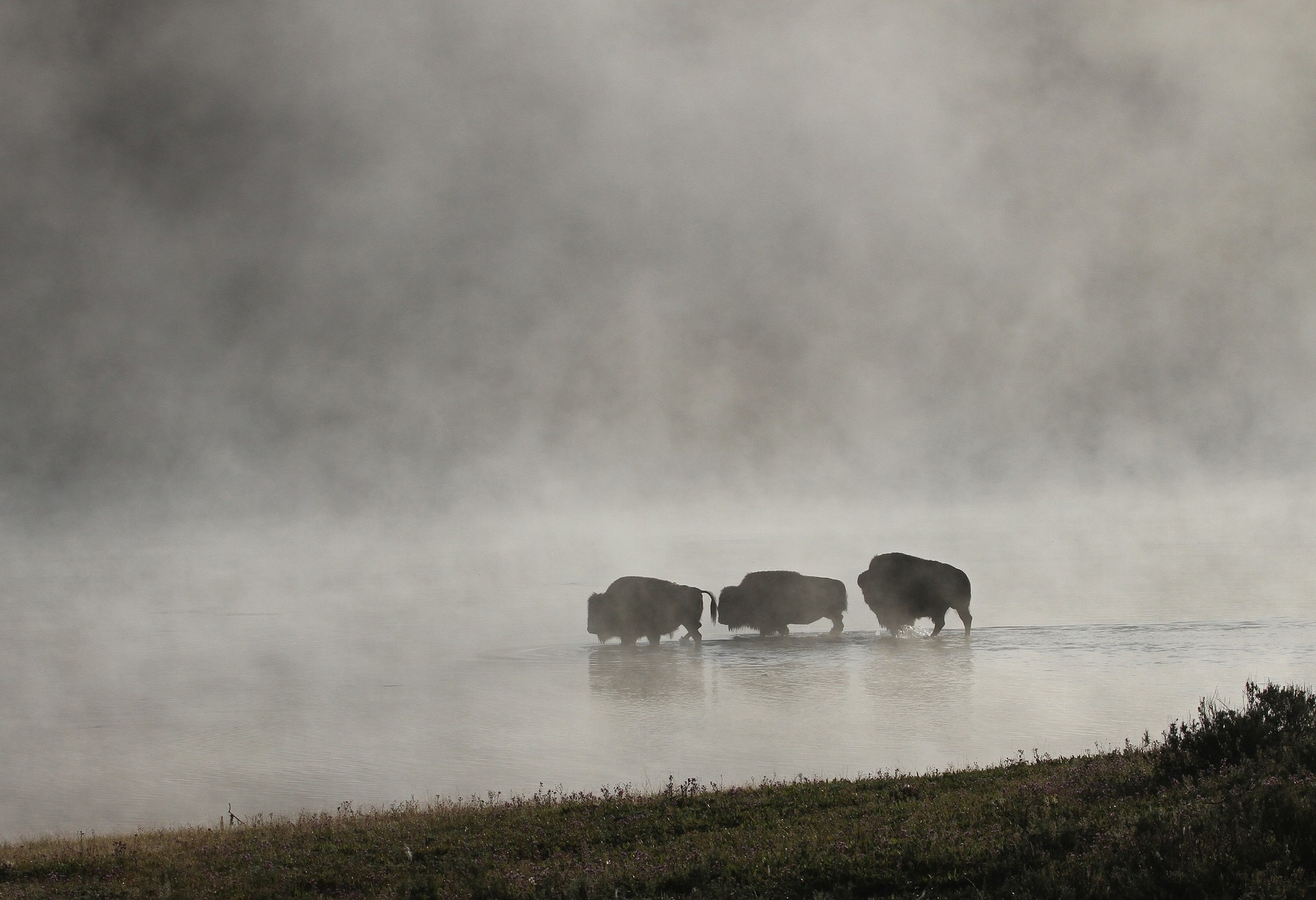 3 bison in lake - Yellowstone day tours - Wyoming Guide Co