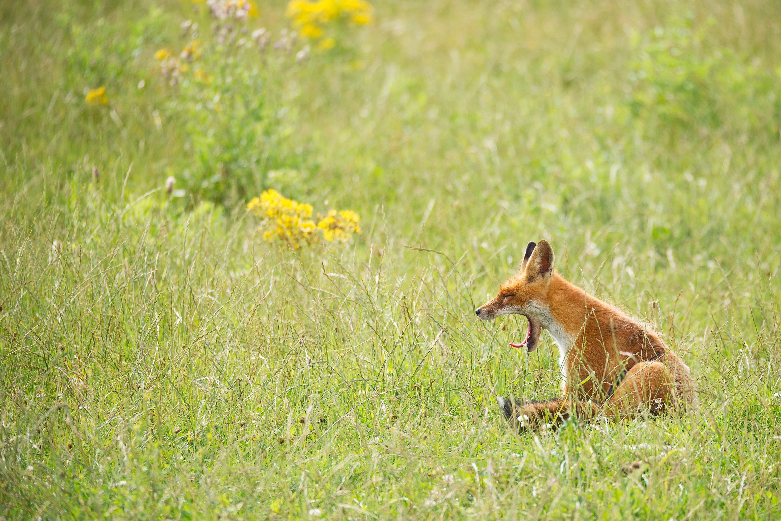 Fox in Field Yawning - Yellowstone National Park - Wyoming Guide Co