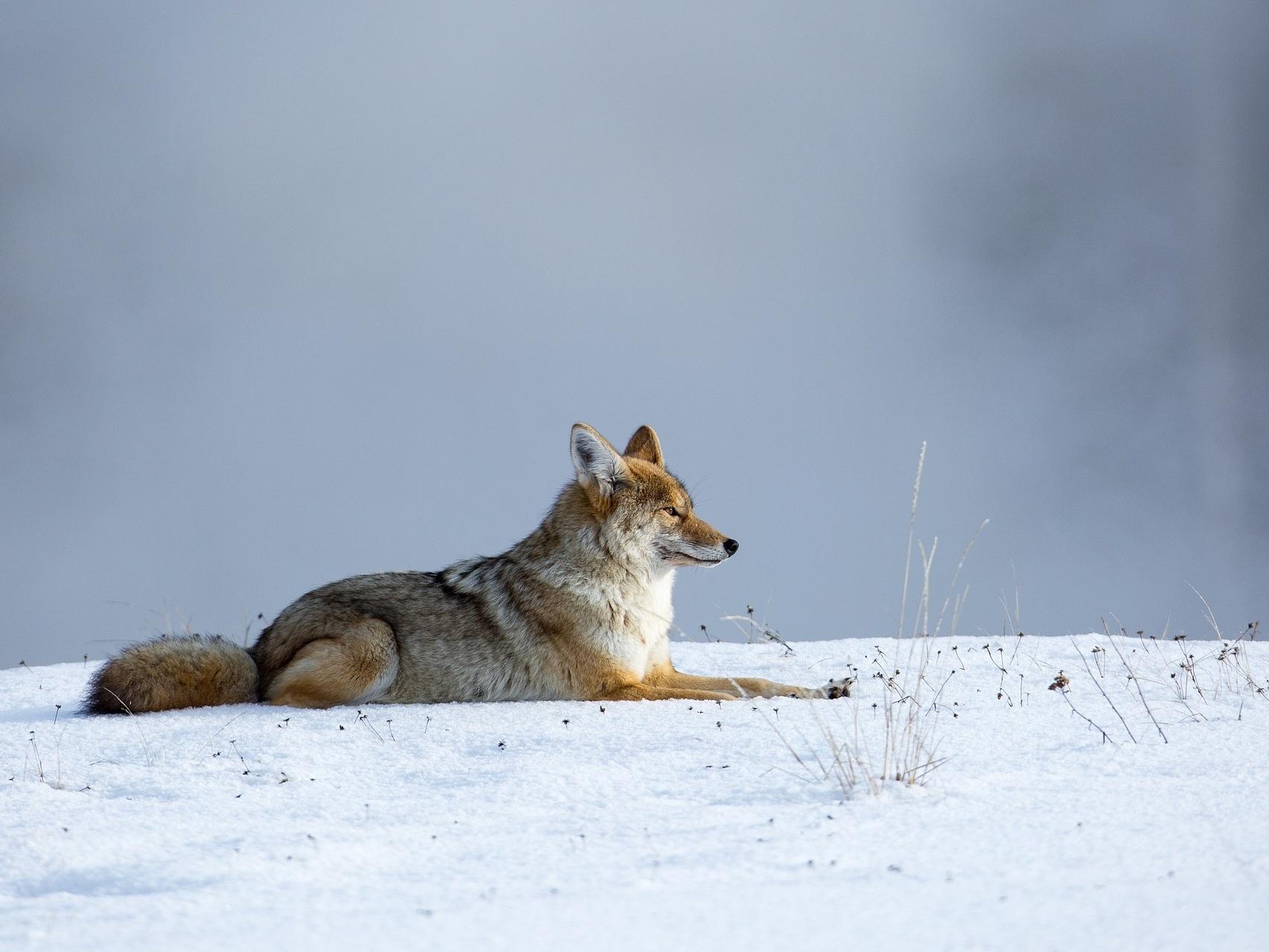 coyote-1143632_1920.jpg