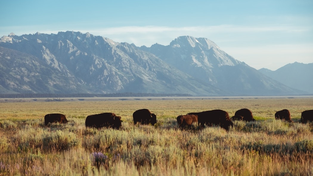 Bison in the Tetons.jpg
