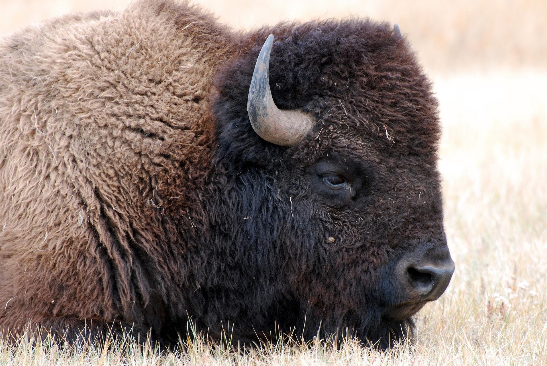 bison-1344761_1920.jpg
