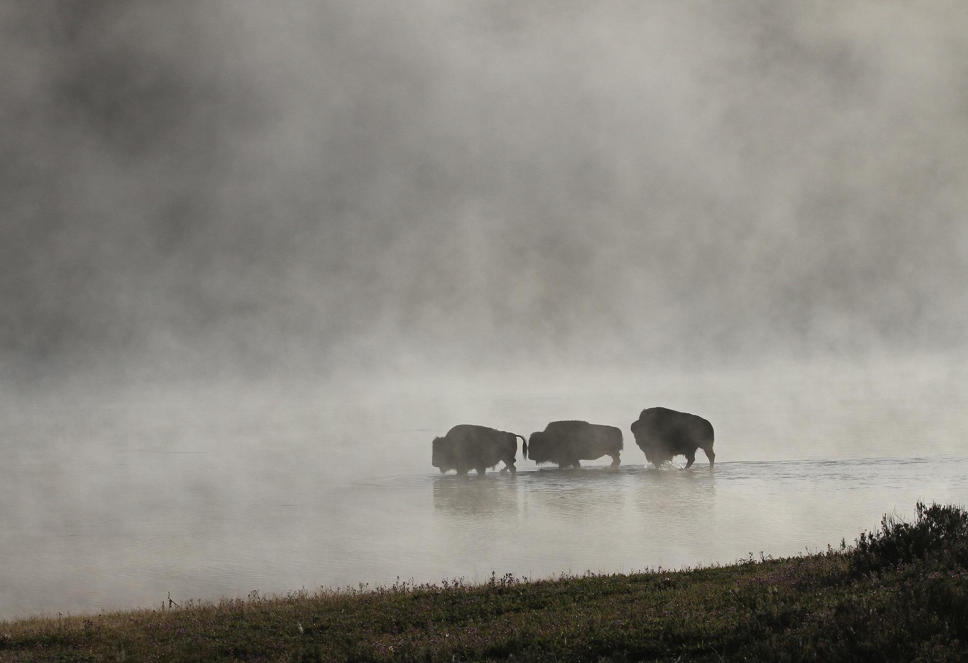bison-1801981_1920.jpg
