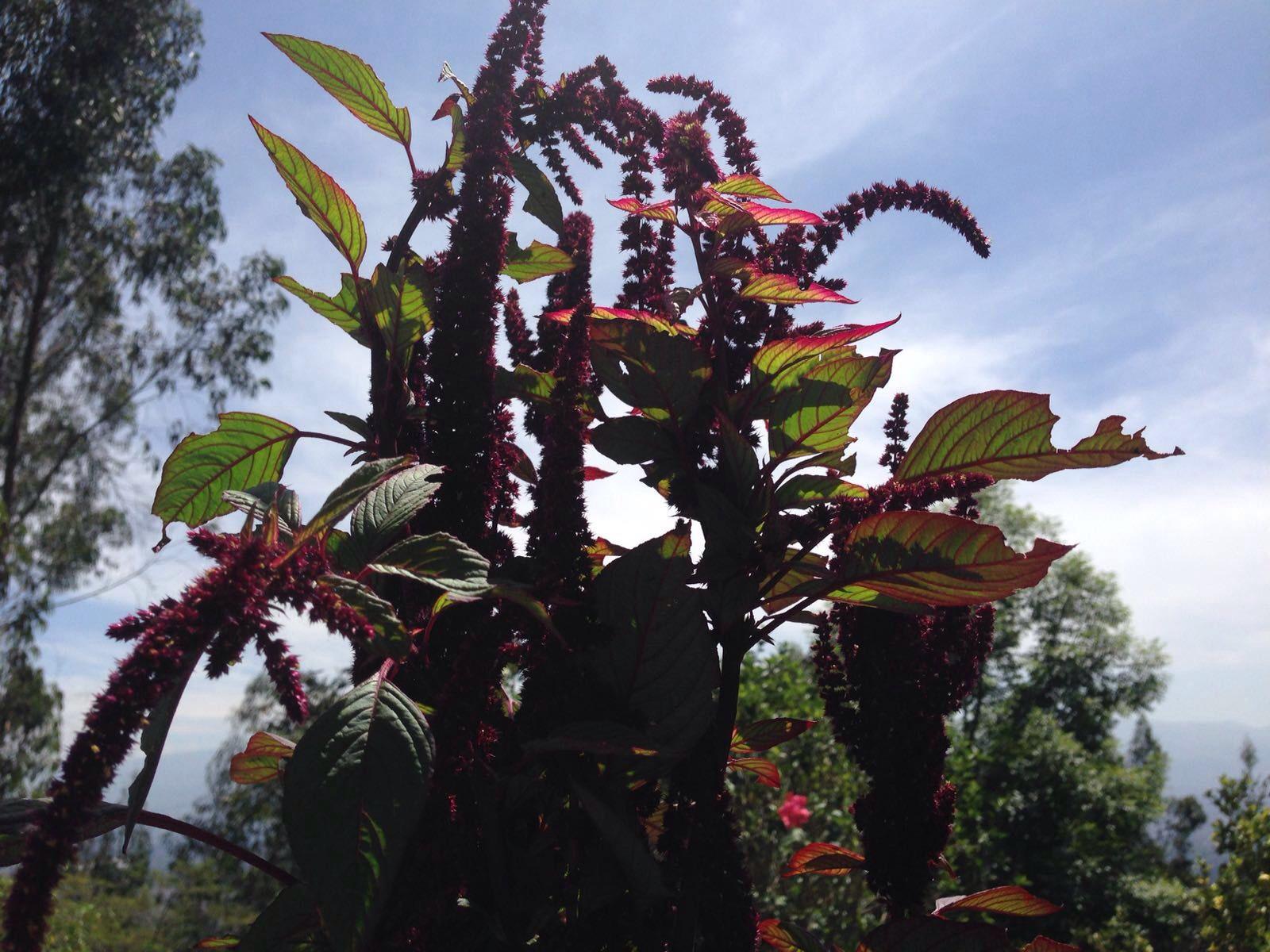 La planta del amaranto negro en mi jardín