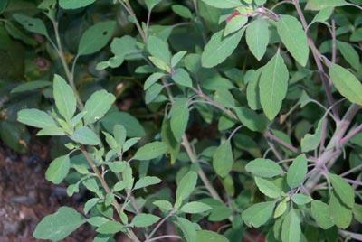 """Quilquiña / quirquiña - un , hierba de frescura utilizado en la salsa omnipresente boliviana llamada """"llajwa"""""""