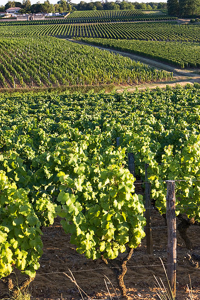 SAUTERNES, FRANCE   Image by Olivier Aumage (Photo taken by Olivier Aumage) [CC BY-SA 2.0 fr ( License )], via Wikimedia Commons