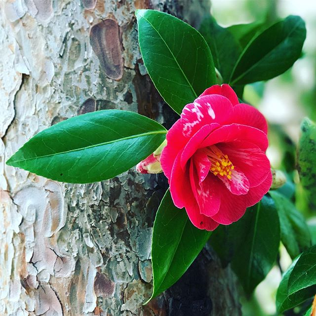 Nature's elegance on view @portlandjapanesegarden. 🌺 . . . . . . . #portlandor #portlandoregon #rosegram #travelportland #traveloregon #rosesarered #cityofroses🌹 #rosecity #rose #roses #japanesegarden #pdxjapanesegarden #portlandjapanesegarden #instarose #rosegarden #pnwlife #japanesegarden #flowerphotography #flowers #roses🌹 #oregonbeauty #oregonexplored #exploregon #pnw #rose🌹