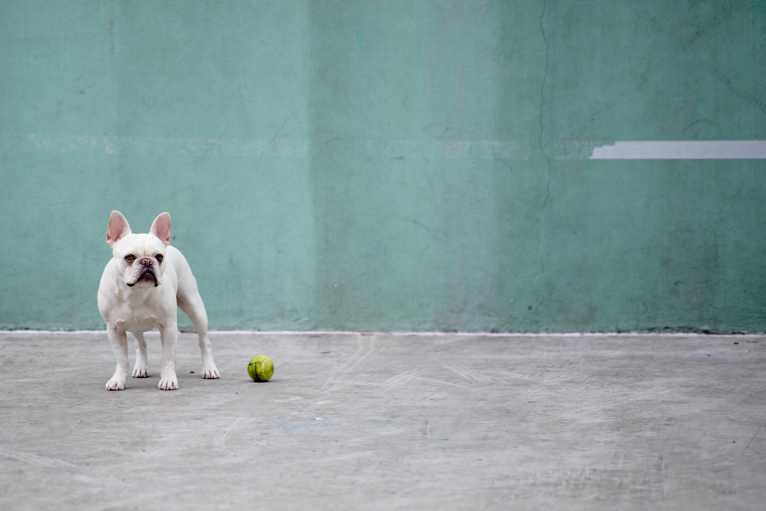 """""""Play with Me"""" - A French Bulldog in SoHo, NYC"""