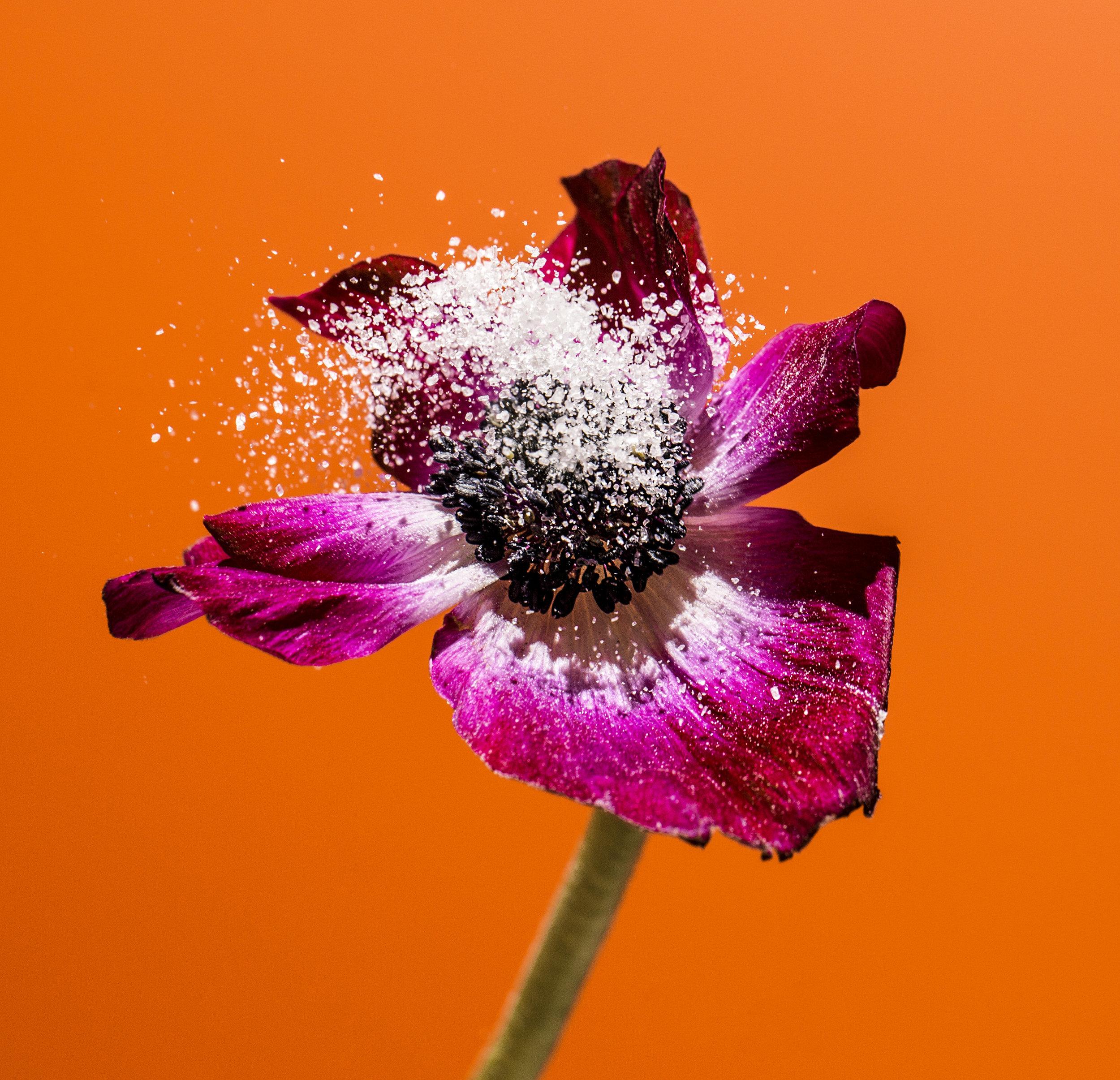 Salty-Suzanne.Saroff.Flower.Series.jpg