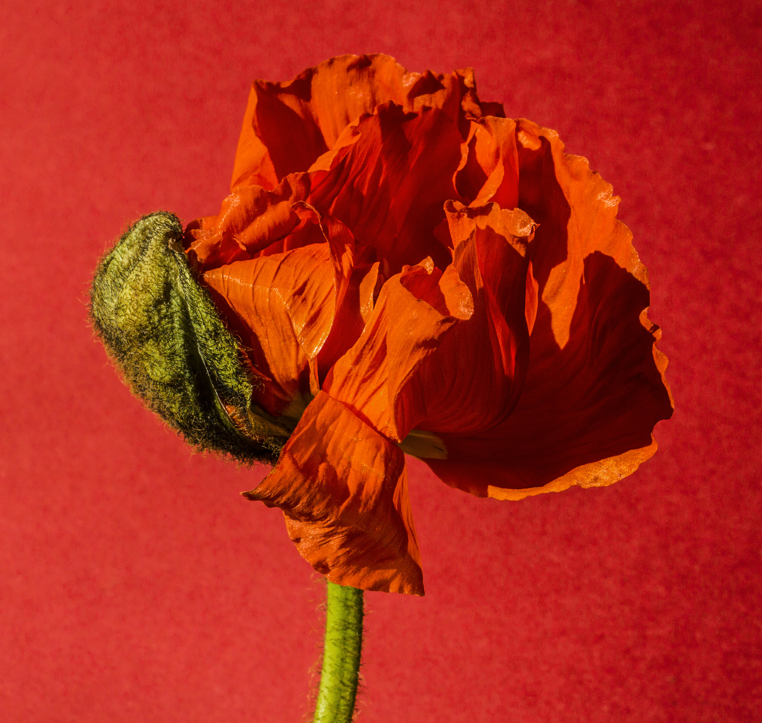 Red2.Suzanne.Saroff.Flower.Series.jpg