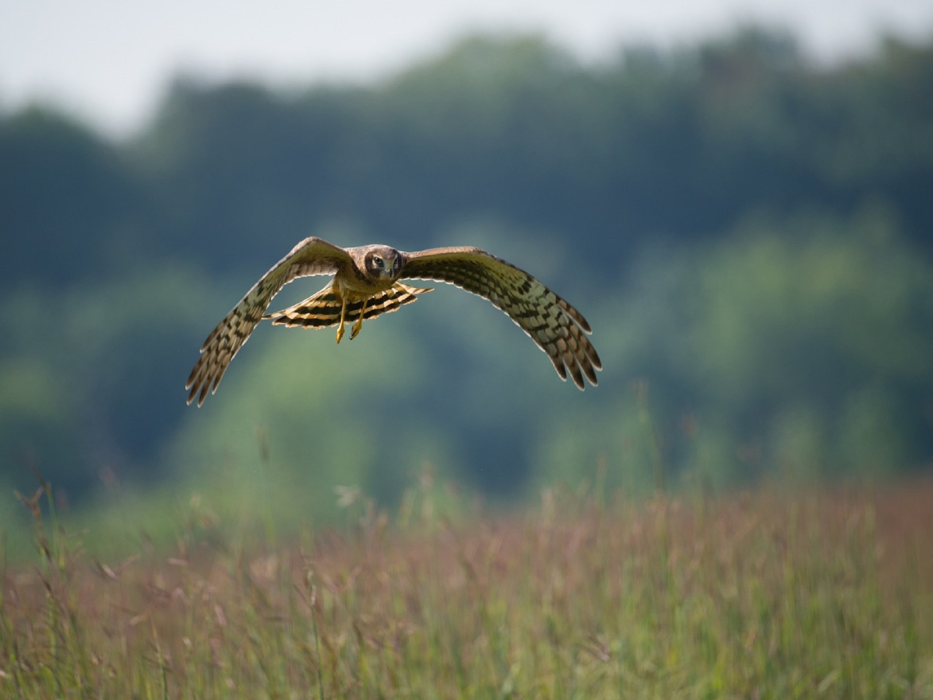 NorthernHarrier_MN.jpg
