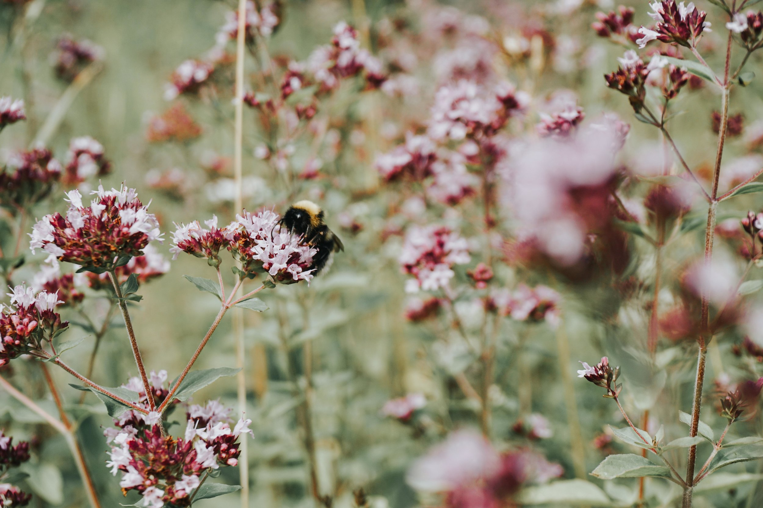 Nordic Honey_Mesilane nektarit korjamas_Mahemesindus_Mesilased