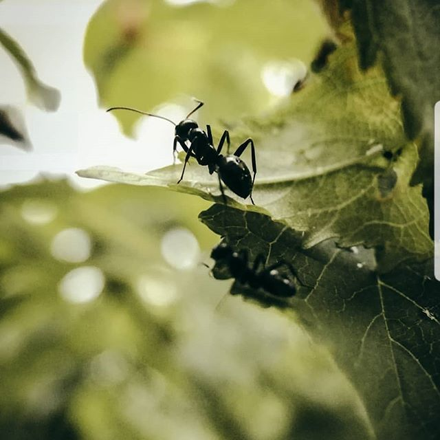 We love this! Shot by @justopandshoot with his #huawei phone and the #Snaplens Macro Pro Lens.  #macro #macrophoto #macrophotography #macrosnap #huaweiphoto #nature #explore #ant #closeup #green
