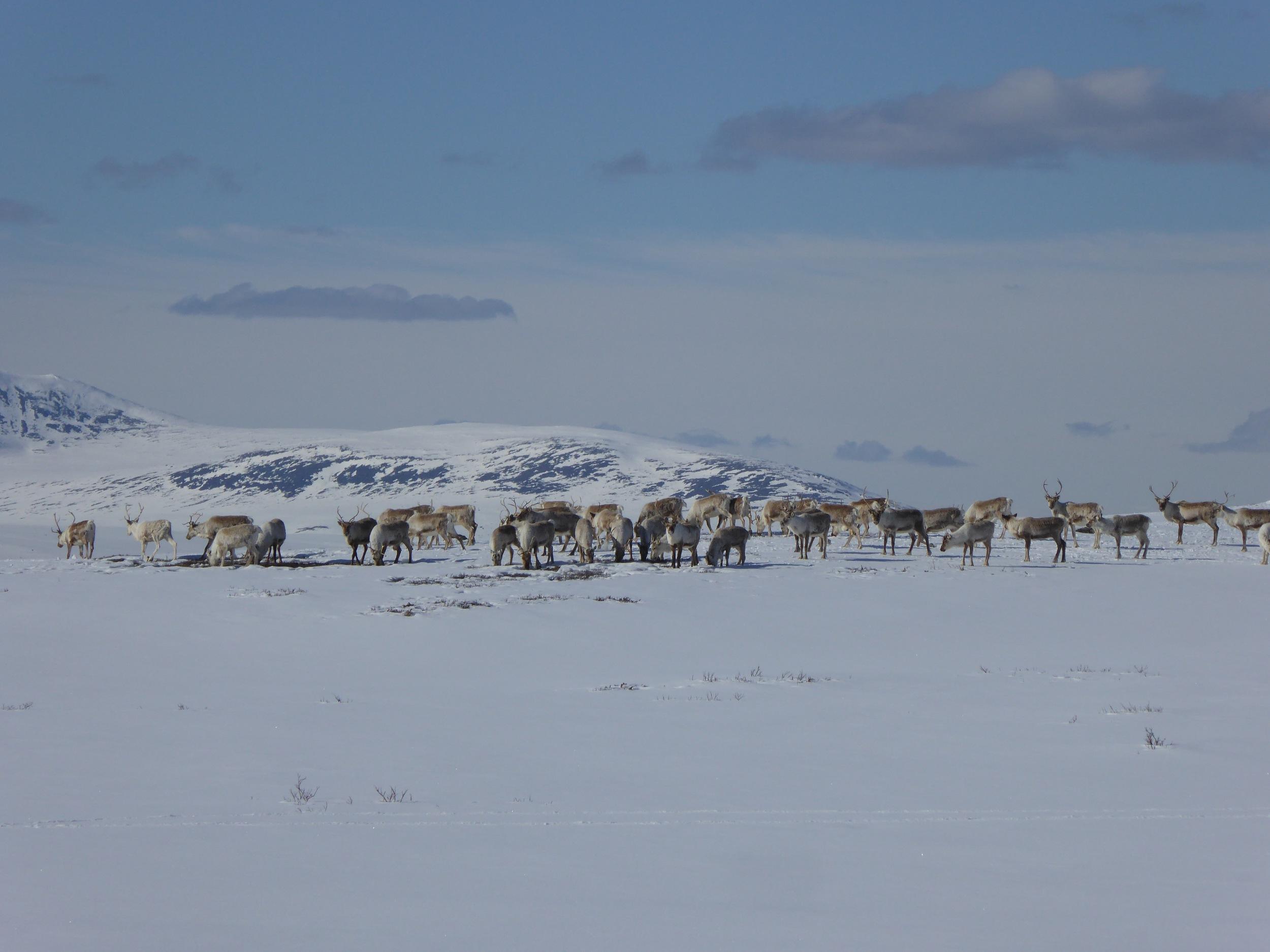 Spennende med ganske nær kontakt med reinsdyr :-)
