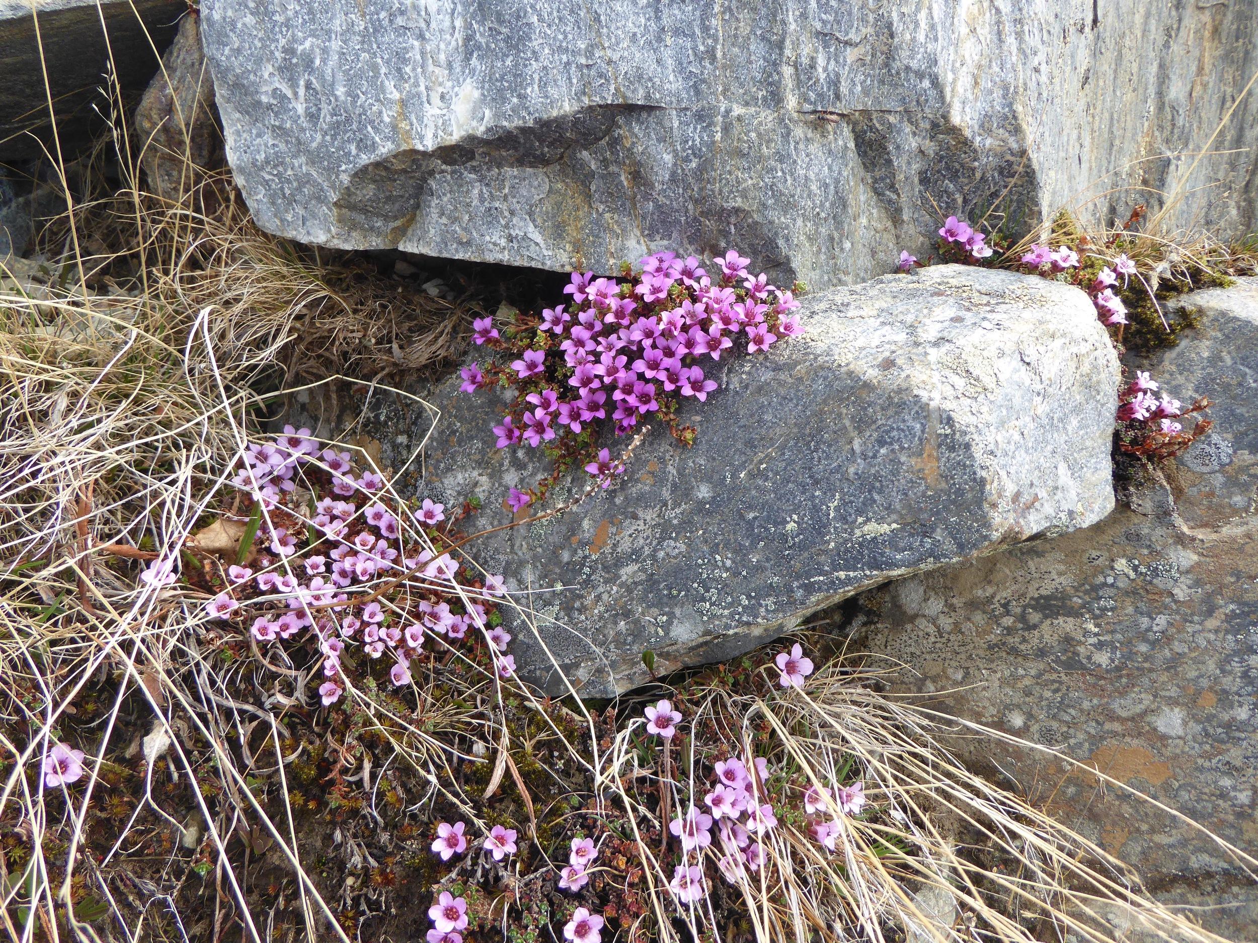 Vi lærte navnet på flere blomster, dette er Fjellsmelle