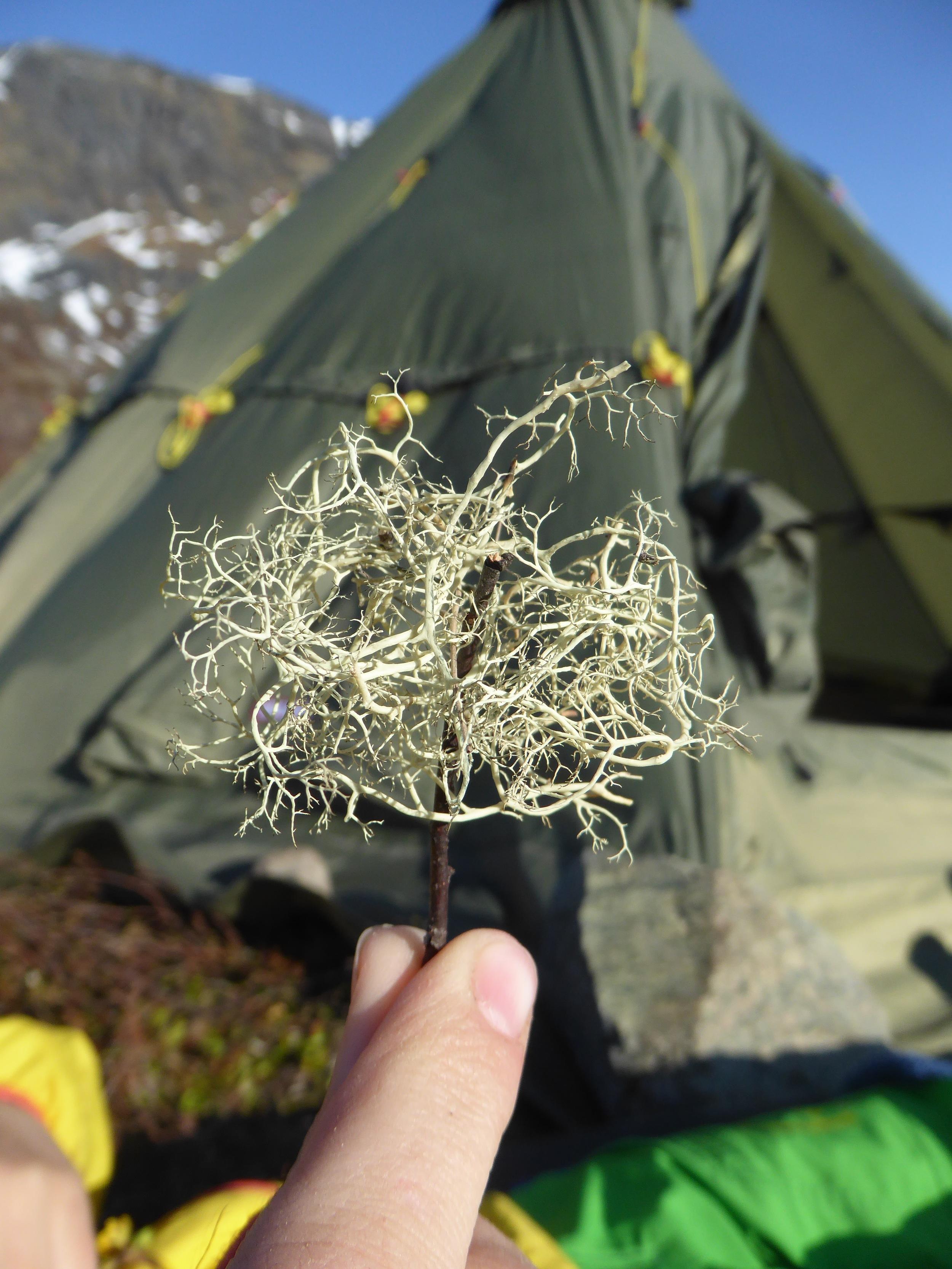 Reinsdyras mat omgjort til et tre