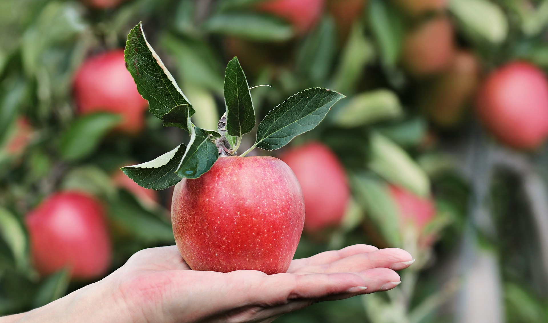 Organic apples had greater diversity of bacteria in all parts of the apple according to a new study