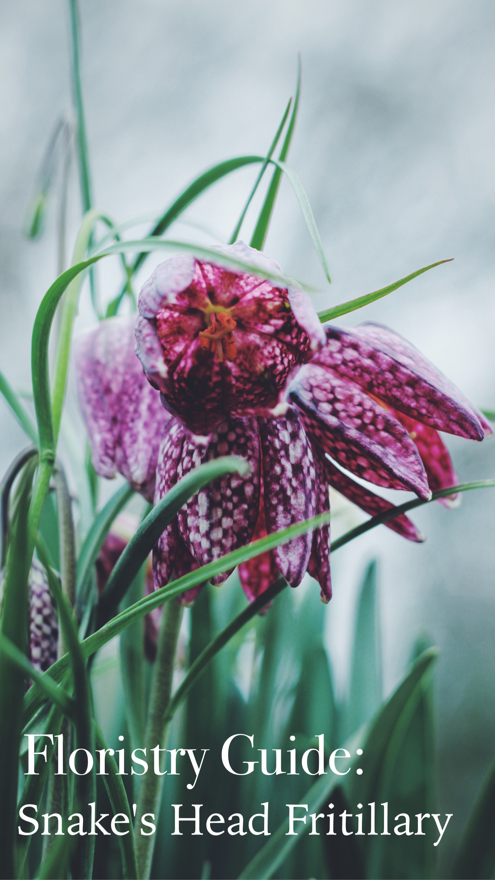 Snake's Head Fritillary by Jennifer Pinder. A guide to using this flower at weddings or events including the meaning of the flower (persecution) and a bit of the history too