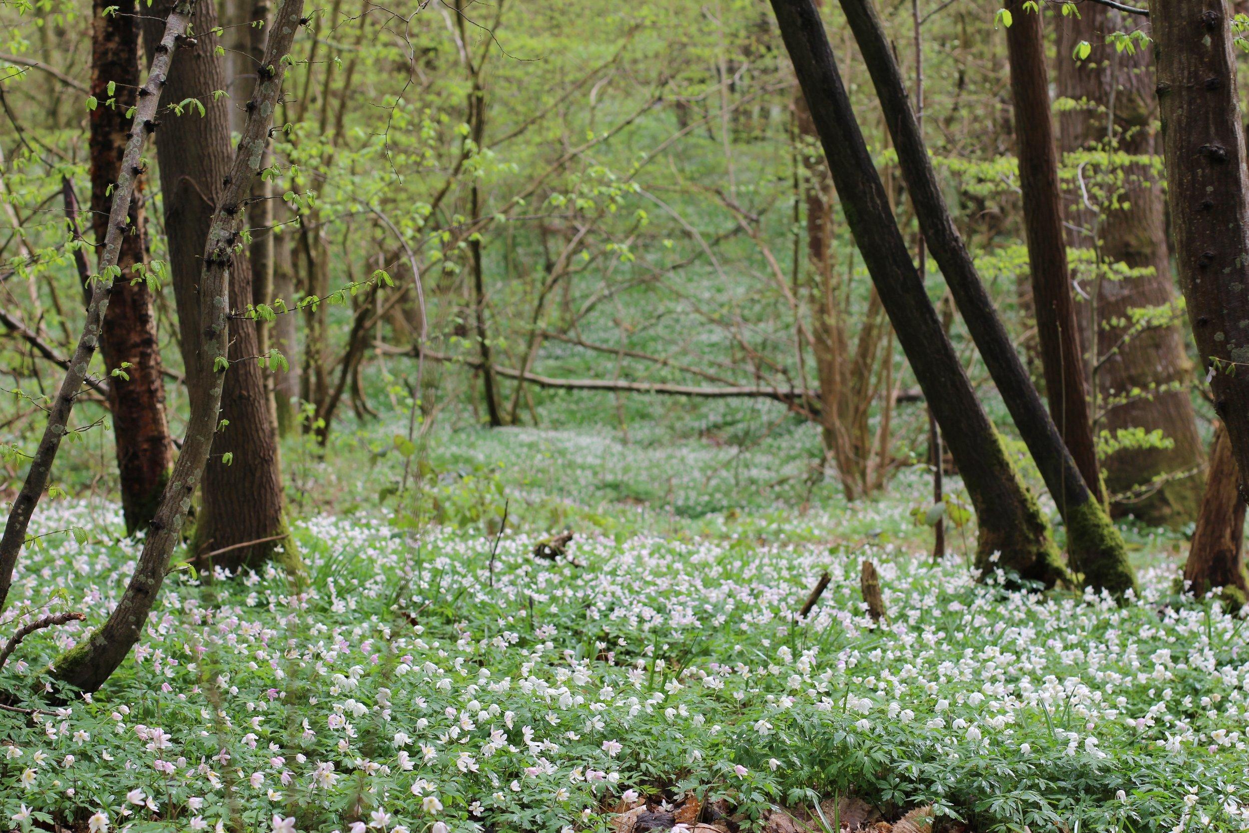 wood anenomes by Kent florist Jennifer Pinder