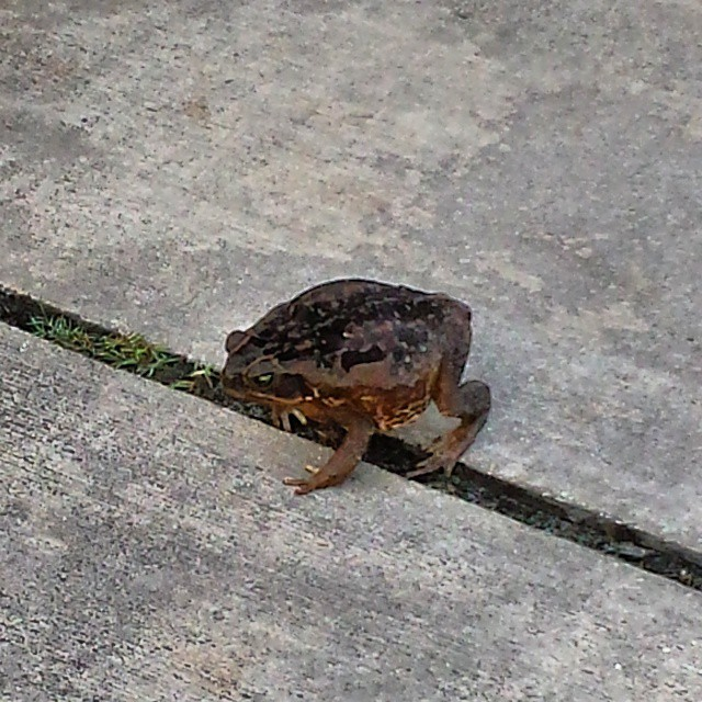 Bullfrog in attack-mode (at Admirals Cove Country Club)