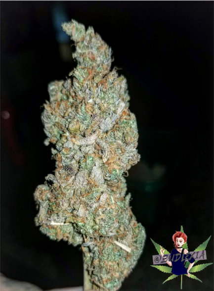 Blue Dream flower, hydroponically grown    Follow me on Instagram for more