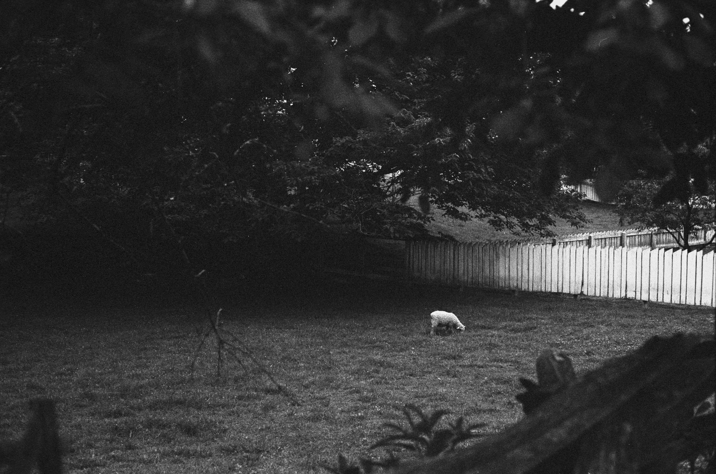 20150705-sheep2.jpg