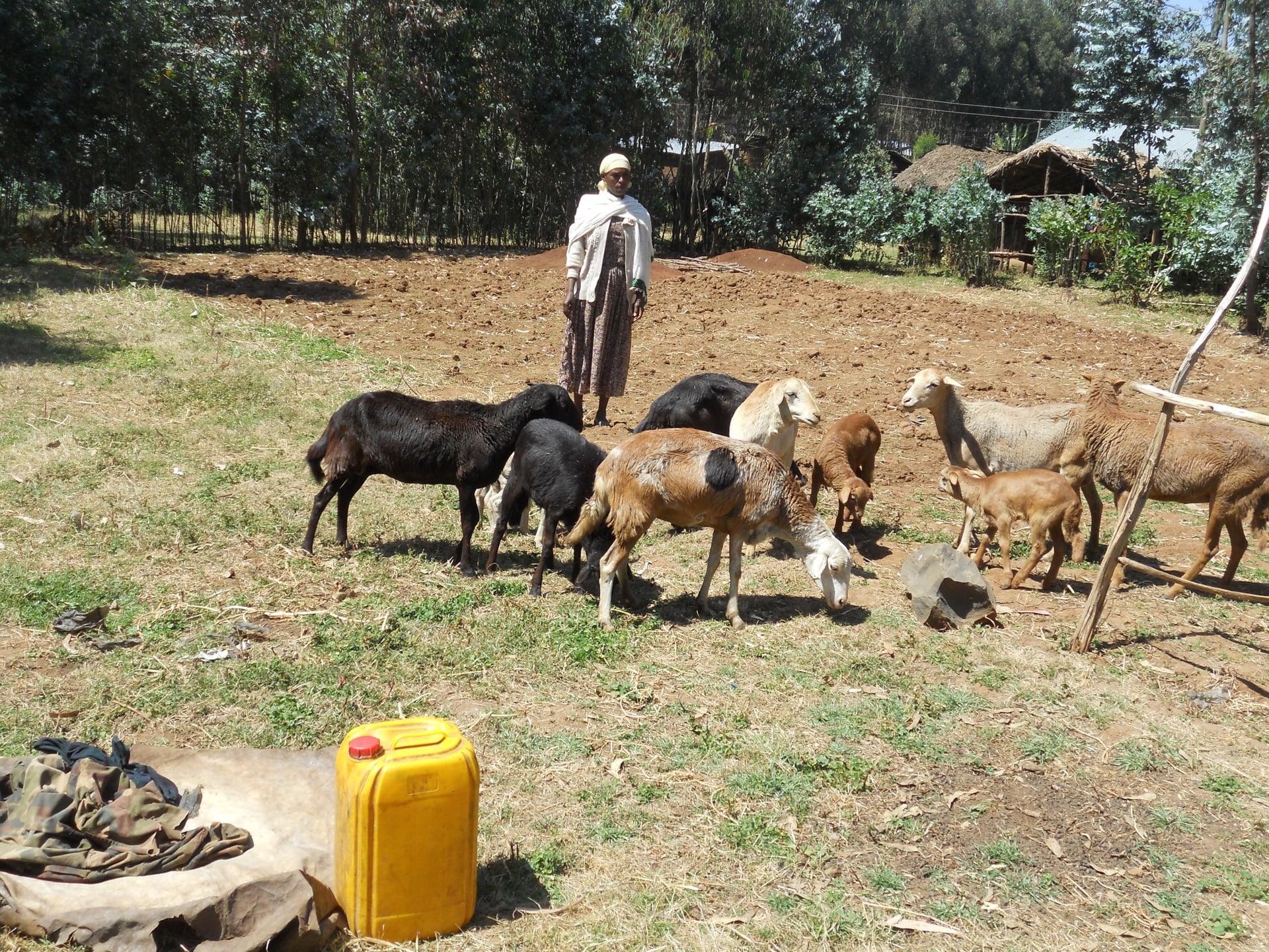 Livestock devel 2.jpg