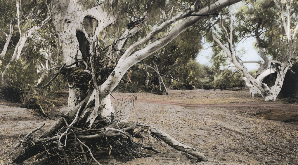 "Scar tree, Fowlers Creek (having-been-there Series)  2014, Adelaide A/P Archival inkjet print on canvas, hand colored with synthetic polymer paint and pencil 26"" x 69"" (65 x 175 cm)   SOLD"